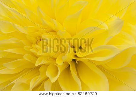 Yellow dahlia closeup