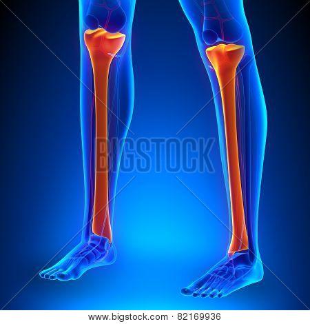 Tibia Anatomy Bones With Ciculatory System