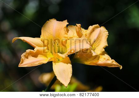 Summer blossom of fresh orange lilly in garden