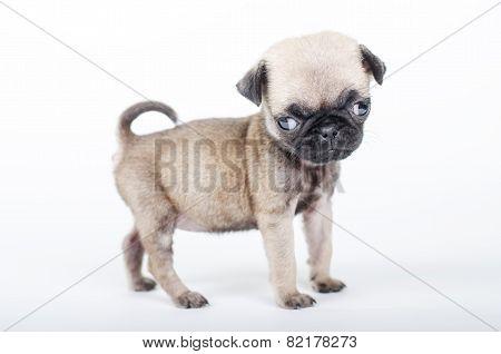 Newborn Pug Puppy