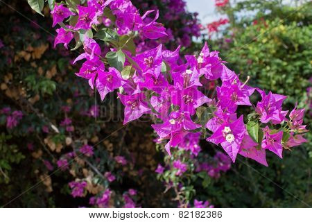 Luminous Pink Bougainvillea