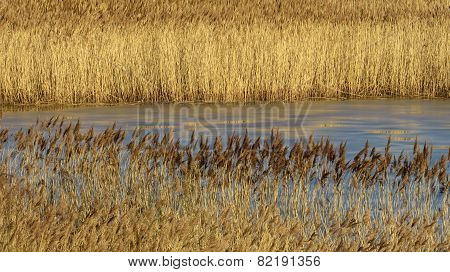 Golden brown reedbeds in winter.