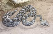stock photo of poison  - Poisonous snake Cerastes lying on the sand - JPG