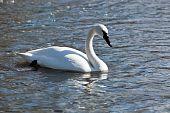 pic of trumpeter swan  - Bugler Trumpeter Swan Cygnus buccinator - JPG