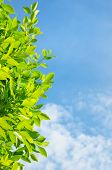 picture of bay leaf  - Fresh leaves of bay leaf against the sky - JPG