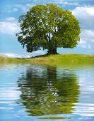 foto of linden-tree  - single big old linden tree mirroring on water surface  - JPG