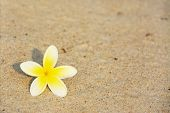 picture of morning  - Frangipani Flower on the Beach in Early Morning Sunlight - JPG