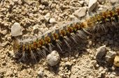 pic of caterpillar  - Pine processionary caterpillar moving in the head of the line - JPG
