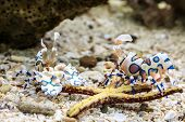 image of harlequin  - - Harlequin shrimp in an aquarium - - JPG