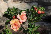 stock photo of desert-rose  - Tropical flower  - JPG