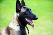 picture of belgian shepherd  - head of purebred belgian shepherd malinois outside