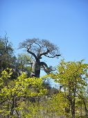 picture of baobab  - baobab in the bush - JPG
