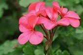 stock photo of geranium  - Red geraniums and blurred background - JPG
