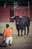 stock photo of bulls  - Fighting bull picture from Spain - JPG