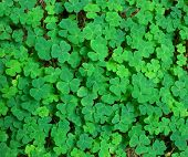 picture of saint patrick  - green background with three - JPG