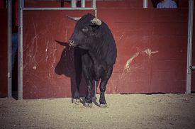 picture of animal cruelty  - Fighting bull picture from Spain - JPG