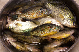 picture of crappie  - Sunfish and crappie catch of the day - JPG