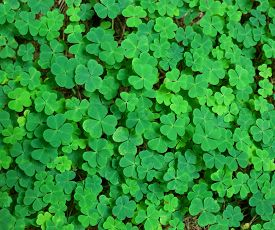 picture of shamrocks  - green background with three - JPG