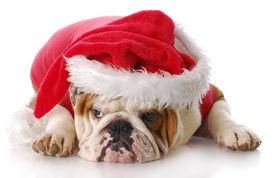 stock photo of sad christmas  - english bulldog with sad expression dressed up like santa claus with reflection on white background - JPG