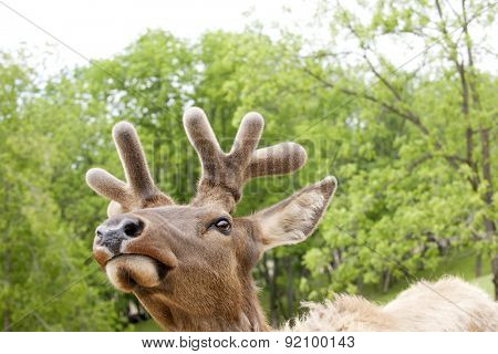 Close-up image from below a male deer's head against a backdrop of spring trees.  Space above and around deer for your text.