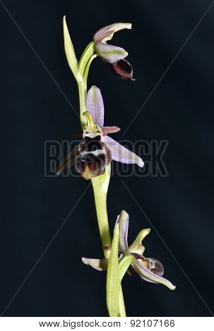 Reinhold's Bee Orchid