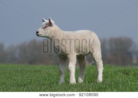 White lamb standing on green dike