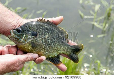 Sunfish In Hand