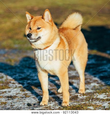 Beautiful Red Shiba Inu Puppy Dog Staying Outdoor In Spring