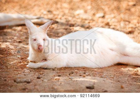Rare Albino Kangaroo