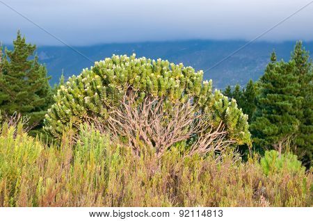 Pincushion Protea Bush Showing Branches
