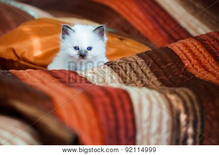Cute birman kitten sitting on bed