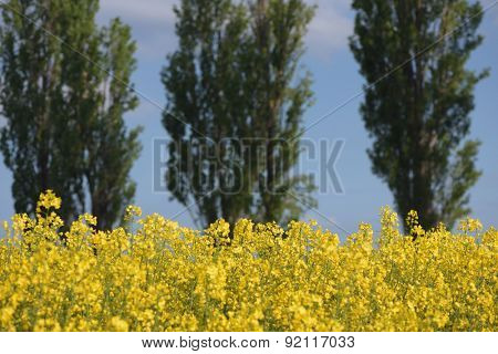 Blooming canola field in the background of poplars