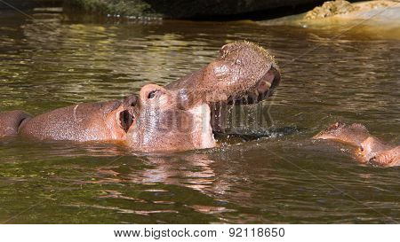 Two Fighting Hippos (hippopotamus Amphibius)
