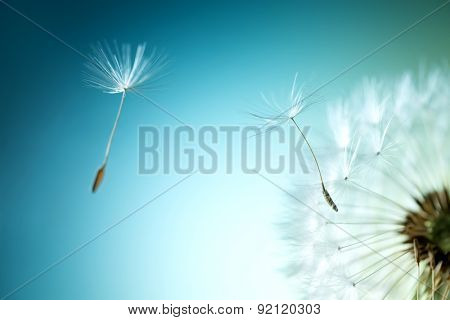 Closeup of dandelion on natural background
