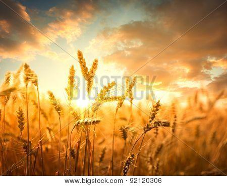Wheat field against golden sunset,Shallow Dof.