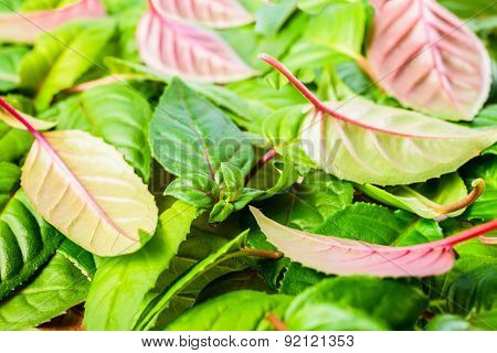 Background Of Green And Red Leaves Fuchsia, Closeup
