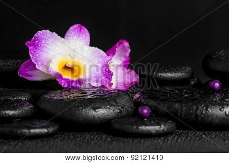 Spa Concept Of Purple Orchid Dendrobium With Dew, Pearl Beads On Black Zen Stones, Closeup