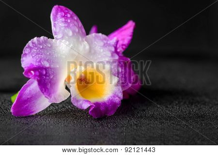 Purple Orchid Dendrobium With Drops On Black Background, Closeup