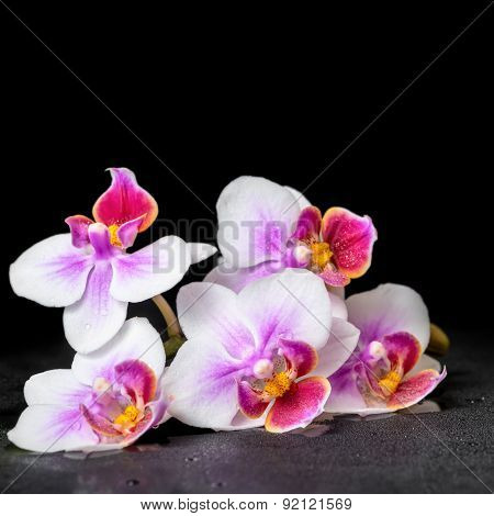 Beautiful Purple Orchid Phalaenopsis On Black Background With Drops, Closeup