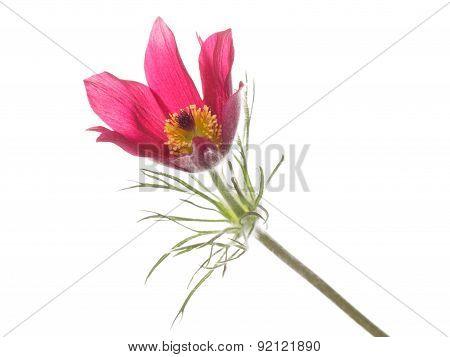Flower Pulsatilla Patens
