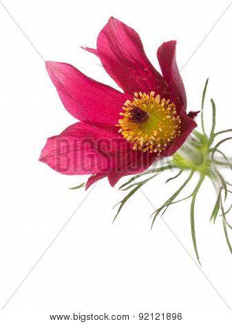 Spring Purple Flower Pulsatilla Patens
