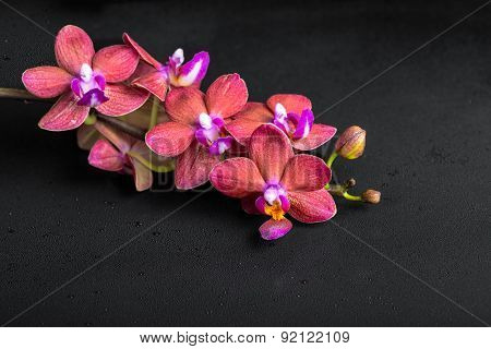 Beautiful Spa Concept Of Blooming Twig Red Orchid Flower, Phalaenopsis With Water Drops On Black Bac