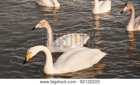 Swan White