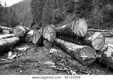 Freshly Cut Tree Trunks Near A Forest Road