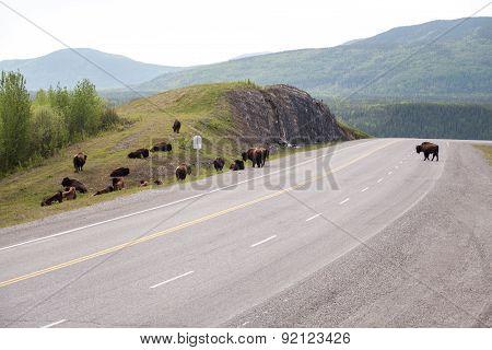 Herd Of Bison On Road