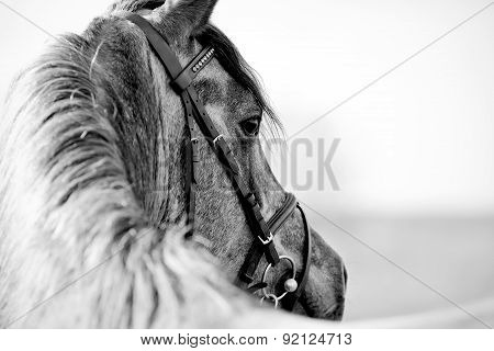 Black-and-white Portrait Of A Sports Stallion
