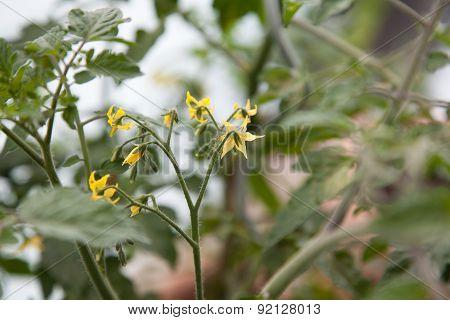 Cherry Tomato Blossom Sprouts
