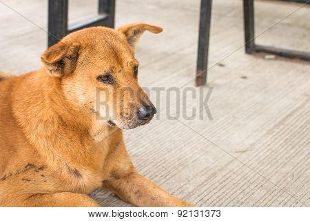 Homeless Thai Dog