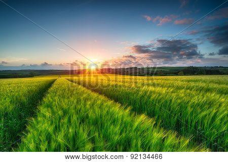 Barley Field Landscape
