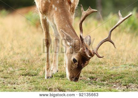Detail Of Fallow Deer Grazing